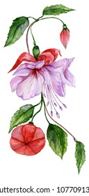 Beautiful red and purple fuchsia flower on a twig with green leaves. Isolated on white background. Watercolor painting. Hand painted floral illustration.