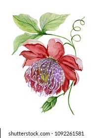 Beautiful red and purple passiflora (passion flower) on a twig with green leaves and tendril. Isolated on white background. Watercolor painting. Hand painted floral illustration.