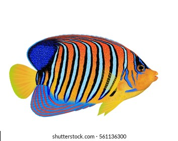 A beautiful Regal angelfish (Pygoplites diacanthus) illustration by Steven Russell Smith isolated on a white background.