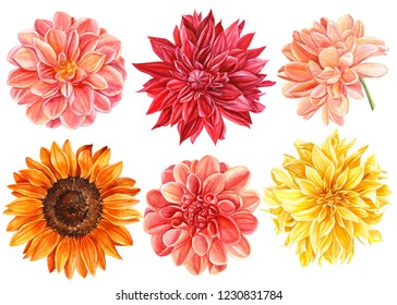 beautiful set of flowers. Yellow, red, pink dahlia, sunflower isolated on a white background, watercolor illustration, botanical art