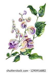 Beautiful snail vine (Cochliasanthus caracalla) twig with purpe flowers and green leaves. Isolated on white background. Watercolor painting. Hand painted floral illustration.