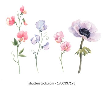 Beautiful watercolor floral set with anemone and sweet pea flowers. Stock illustration.