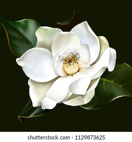 Beautiful white Magnolia closeup on green background