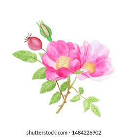 Beautiful wild rose flowers and green leaves hand drawn in watercolor on a white background. Rosa webbiana flowers. Botanical illustration.