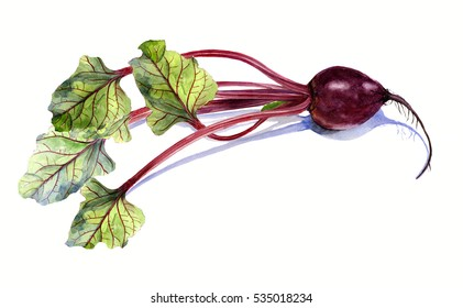 beet with leaf, watercolor painting on white background, isolated