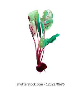 Beetroot with leaves, banner with beetroot, fresh beet isolated, set beets, food ingredients, vegetable, leaves of chard, watercolor illustration on white background.