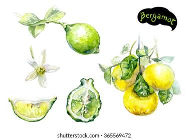 Bergamot watercolor illustration. Citrus fruit branch bergamot, bergamot flower, bergamot slice isolated on white background.