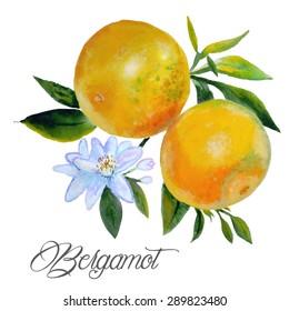 bergamot watercolor on branch, flowers bergamot