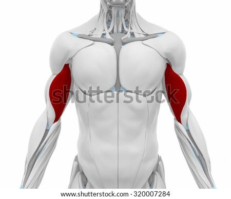 Biceps Brachii Muscles Anatomy Map Stock Illustration 320007284
