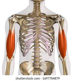 Biceps Brachii Muscles Isolated in Anterior View Anatomy, 3D Rendering on White Background