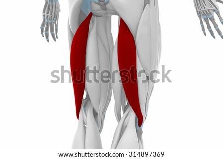 Biceps Femoris Muscles Anatomy Map Stock Illustration 314897369