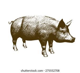 Big pig engraving style on white background. Raster version