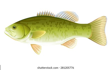 Big realistic freshwater fish smallmouth bass, quality illustration, isolated