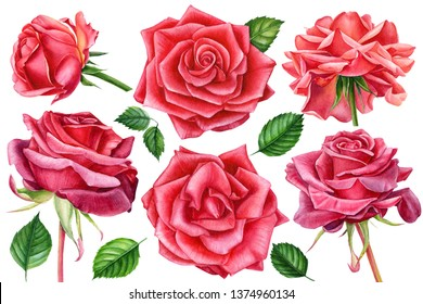 Big set of beautiful watercolor flowers and leaves. Roses, buds, quince flowers on an isolated background, painting, hand drawing