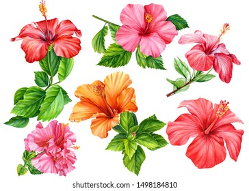 big set of hibiscus flowers painted in watercolor, on an isolated white background, botanical illustration, tropical flowers