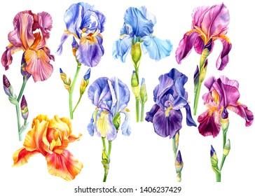 big set of summer beautiful flowers irises on a white isolated background, watercolor illustration, botanical painting