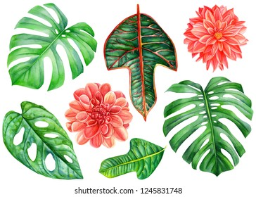 Big set of tropical plants, green leaves monstera, flowers dahlia on an isolated white background, watercolor illustration, botanical painting
