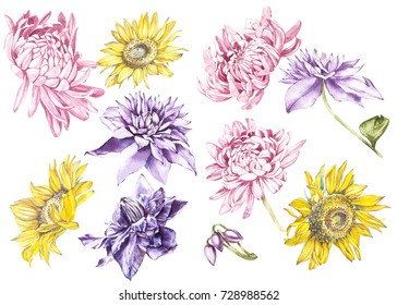 Big Set Watercolor collection with plants elements - leaf, flowers. Botanical illustration isolated on white background. Floral nature. Sunflowers,Chrysanthemums, and Clematis.