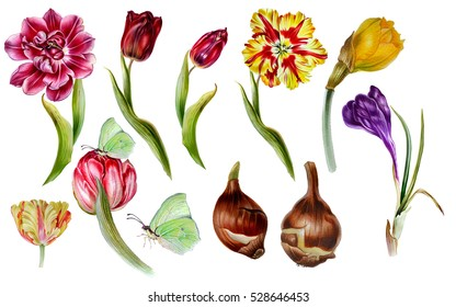 Big set of watercolor spring flowers in botanical at style. Tulips, narcissus, crocus with butterfly and bulb. garden flowers for invitations, save the date cards, fabric, wallpaper, scrapbook