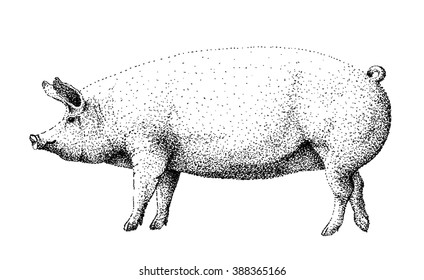Big white pig illustration old lithography style hand drawn