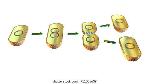 Binary fission in bacteria. 3D illustration on white background.