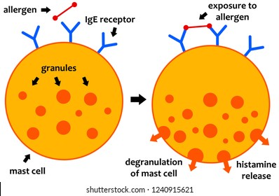 Biochemical processes during an allergic reaction