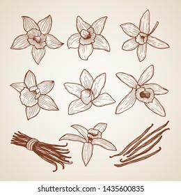 Biology illustrations. Aroma flowers of cinnamon. Spice ingredient, flower natural