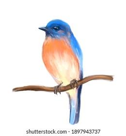 Bird Bluebird on branch. Isolated on white background