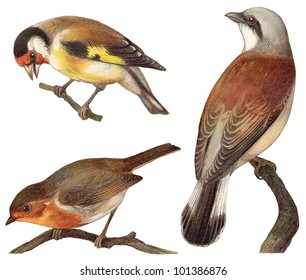 Bird collection - Goldfinch (Carduelis elegans), European Robin (Erithacus rubecula), Red backed Shrike (Lanius collurio) / vintage illustration from Meyers Konversations-Lexikon 1897