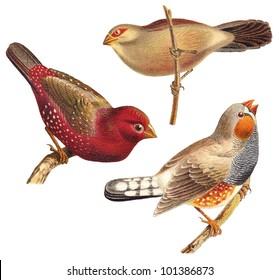 Bird collection - Red Munia (Amandava amandava), Black rumped Waxbill (Estrilda troglodytes), Zebra Finch (Taeniopygia guttata) / vintage illustration from Meyers Konversations-Lexikon 1897