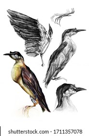A bird drawn by hand in watercolors. Bird parts , legs, head, and wing, hand-drawn in pencil.Study guide