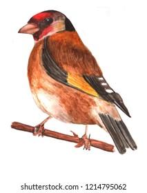 Bird. Goldfinch. Watercolor