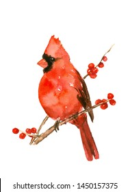 Bird painting red Cardinal male Watercolor on branch hand drawn illustration isolated on white background