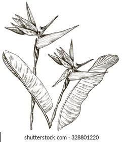 Bird of Paradise flower in sketch style. Raster version