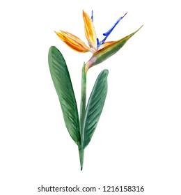 Bird of paradise flower Strelitzia reginae, crane flower hand drawn botanical illustration isolated on white backdrop exotic tropical plant Strelicia for design cosmetic, greeting card, wedding invite