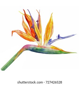Bird of paradise flower, Strelitzia reginae hand drawn botanical illustration isolated on white background, exotic tropical plant for design pattern package cosmetic, greeting card, wedding invitation