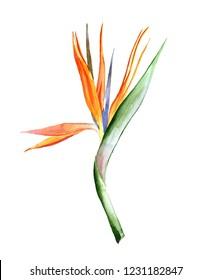 Bird of paradise flower watercolor illustration