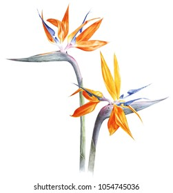 Bird of paradise - strelitzia - flower watercolor on white. Botanical illustration. Can be used for cards, textile or any tropical designs