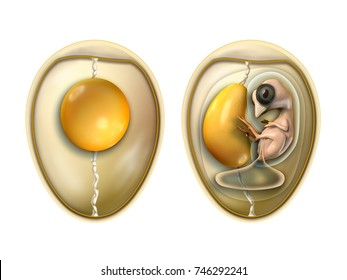 Bird's egg parts with embryo. Digital illustration with included clipping path.
