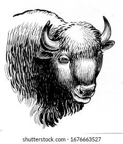 Bison head. Ink black and white drawing