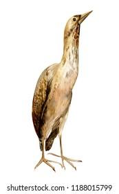 bittern, wad bird on isolated white background, watercolor illustration