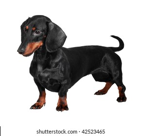 Black and brown dog (dachshund) isolated on white background