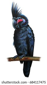 Black cockatoo drawing (Probosciger aterrimus)