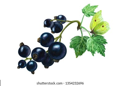 Black currant berries with leaves and yellow butterfly on a white background, hand drawn watercolor illustration.