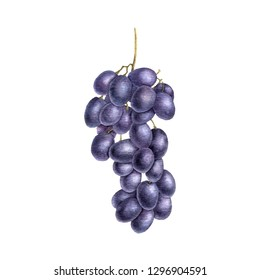 black grape drawing in watercolor at white background, hand drawn botanical illustration