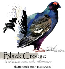 Black Grouse bird hand drawn watercolor illustration. capercaillie