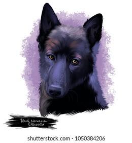 Black Norwegian Elkhound, Norsk Elghund Svart dog digital art illustration isolated on white background. Norwegian origin hunting dog. Cute pet hand drawn portrait. Graphic clip art design