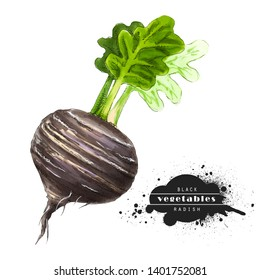 Black radish isolated on white background. Illustration of a raw vegetable sketch. Veggiery and healthy nutrition.