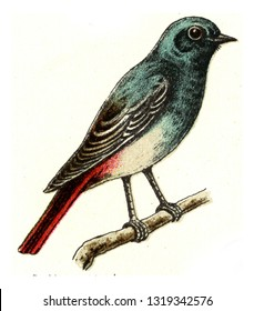 Black redstart, vintage engraved illustration. From Deutch Birds of Europe Atlas.