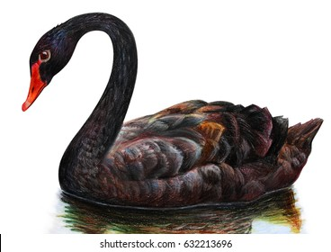 Black swan realistic drawing